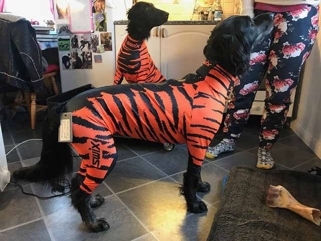 "Flat Coated retriver - Hann - Str. Large ""Tiger-dress"""